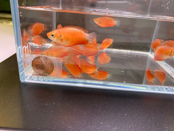 Red Honey Gourami - 6 pack