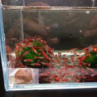 Red Rili Shrimp - 8 pack