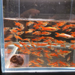 Scarlet Endler Male 10 pack