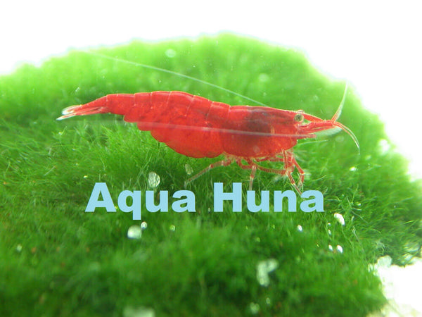 Aqua Huna Red Cherry Shrimp (Grade A)