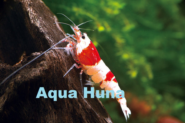 Red Crystal Shrimp (Grade S) - 8 pack
