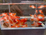 Red & White Swordtail - 6 pack