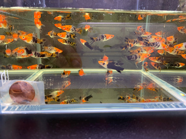 Koi/Tri Swordtail - 6 pack