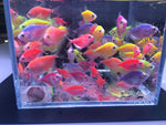 Assorted GloFish Tetra - 6 pack