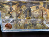 Zebra Angelfish - 3 pack