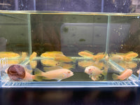 Albino Red Top Zebra Cichlid - 4 pack