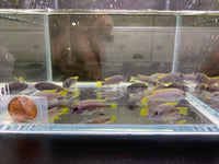Acei Cichlid - 4 pack