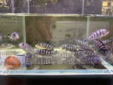 "Demasoni Cichlid 1.25"" - 4 pack"