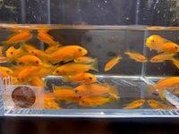 Red Zebra Cichlid - 4 pack