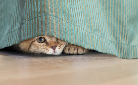 Cat peeking under curtain