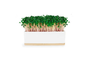 Mini Sprout Garden - Kale Pink