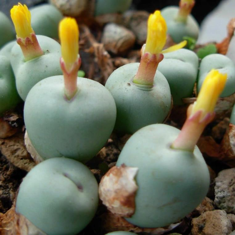 Conophytum pageae - 10 seeds