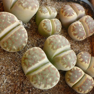 Lithops dorotheae 20 seeds - Living rocks