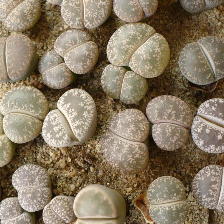 Lithops lesliei - 20 seeds