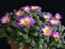 Frithia pulchra - 20 seeds