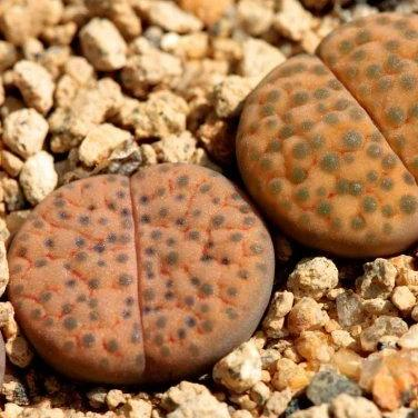 Lithops fulviceps C266 - 20 seeds