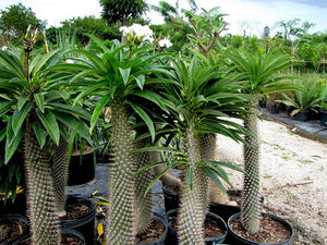 Madagascar palm - 5 seeds