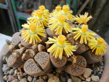 Lithops schwantesii 20 seeds - Living stones