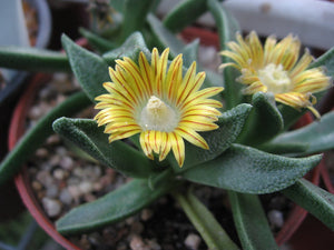 Nananthus aloides - 20 seeds