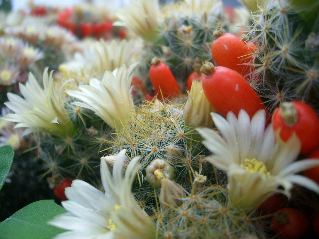 Mammillaria prolifera (Little Candles) - 10 seeds