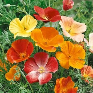 Eschscholzia californica mix - 100 seeds