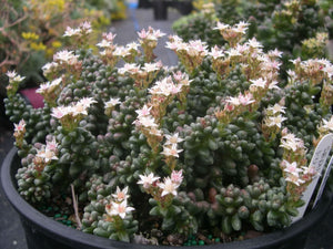 Bonsai sedum - 20 seeds