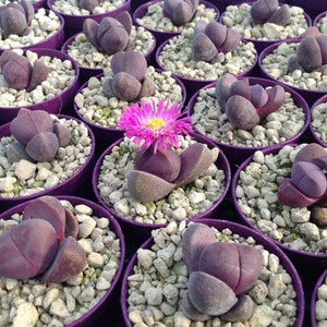 Pleiospilos mix - 20 seeds