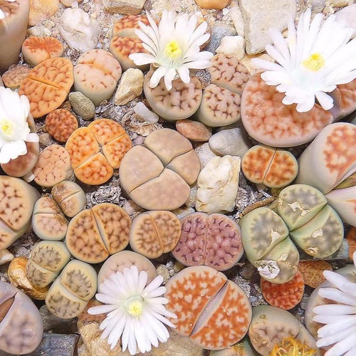 Lithops karasmontana mix - 20 seeds