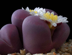 Lithops optica cv Rubra F3 - 10 seeds