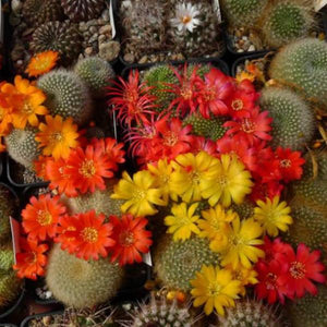 Rebutia seeds mix - 20 seeds