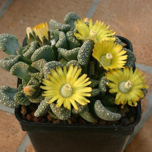 Titanopsis calcaera - 20 seeds