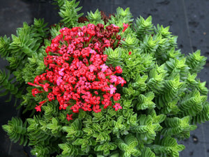 Crassula coccinea - 20 seeds