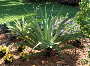 Octopus agave - 10 seeds