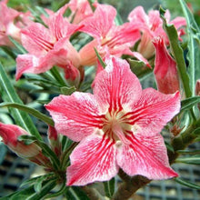 Adenium obesum Dance of a butterfly - 5 seeds