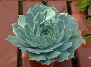 Echeveria simulans Ascension - 20 seeds