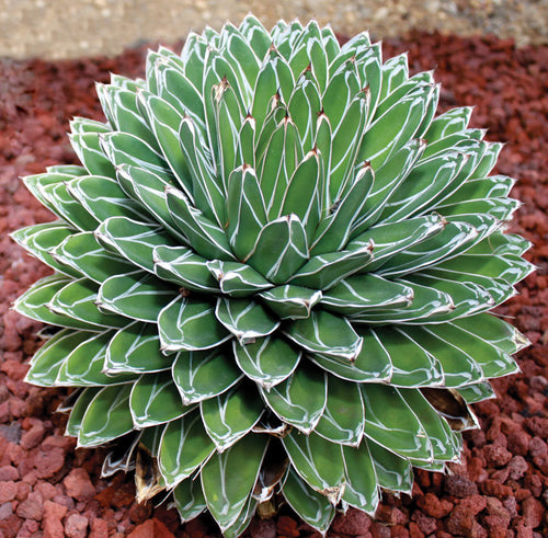 Queen Victoria Agave - 10 seeds