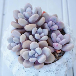 Graptopetalum amethystinum - 20 seeds