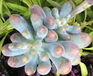 Graptopetalum pachyphyllum - 20 seeds