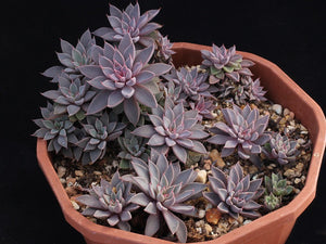 Graptopetalum rusbyi - 20 seeds