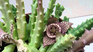 Orbea variegata (Carrion cactus) - 5 seeds