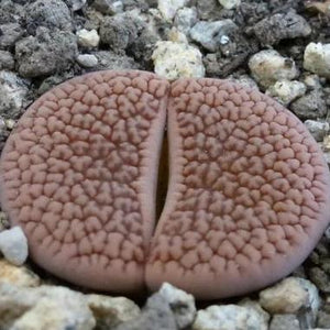 Lithops hookeri C023 (vermiculate form) - 20 seeds