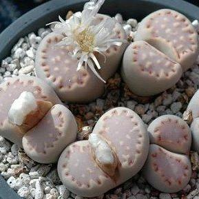 Lithops julii ssp fulleri C171 - 20 seeds
