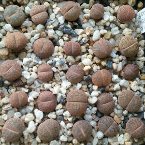 Lithops lesliei v minor C006 - 20 seeds