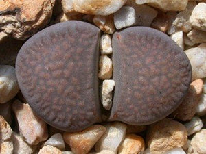 Lithops comptonii C377 - 20 seeds