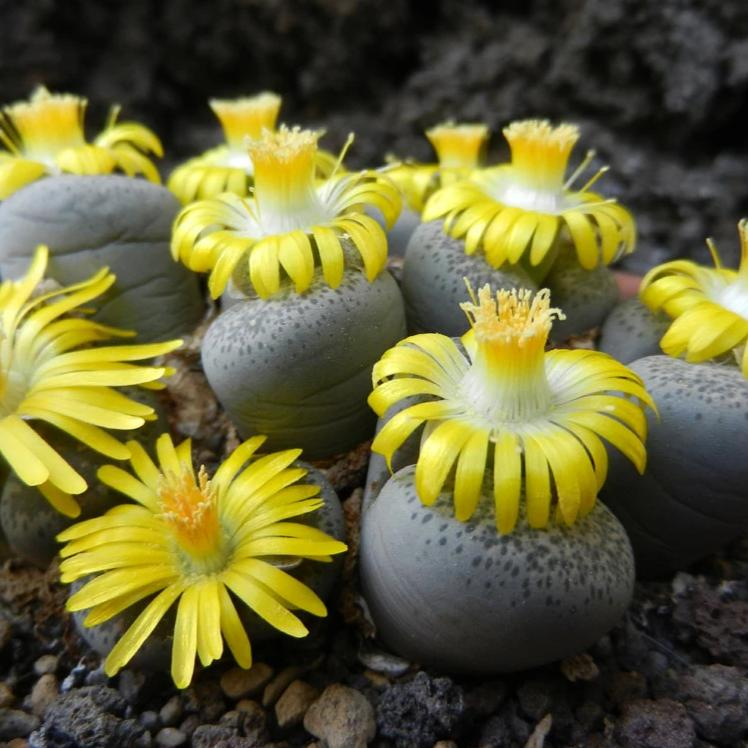 Lithops terricolor C132 (Prince Albert Form) - 20 seeds