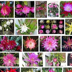Epiphyllum hybrids mix - 10 seeds
