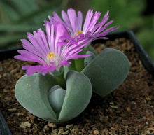 Gibbaeum dispar - 20 seeds