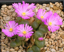Conophytum lydiae mix - 20 seeds