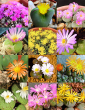 Conophytum mix - 20 seeds