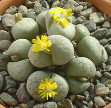 Lithops francisci - 20 seeds